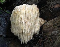 Lion's Mane (Hericium Erinaceus) in The Pacific Northwest