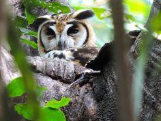 Foto coruja-orelhuda (Asio clamator) por Juliana Diniz   Wiki Aves - A Enciclopédia das Aves do Brasil