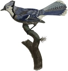 Stunning Natural History Blue Jay Image! - The Graphics Fairy