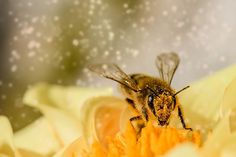 Are you interested in the Bee Spirit Animal? Has the bee spirit animal buzzed into your life? Such a move from the honey-bee is very… Honey Bee Facts, Natural Remedies For Allergies, Bee Sting, Agriculture Biologique, Mundo Animal, Raw Honey, Honey Bees, Pure Honey, Nature