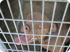 ***URGENT! 5/4/16 Los Angeles, CA - Pit Bull Terrier. Meet A1619391, a dog for adoption. http://www.adoptapet.com/pet/15296870-los-angeles-california-pit-bull-terrier