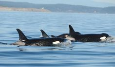 Teeny tiny baby orca spotted in Puget Sound, September 6, 2014 — Whale researchers are celebrating the newest member of a population of endangered killer whales that frequent Puget Sound in Washington state.