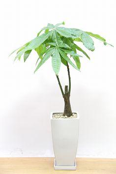 パキラ  観葉植物の通信販売   APEGO【アペーゴ】葉っぱの形がかわいくて人気のパキラ!!葉っぱ一枚一枚がとても大きいので存在感がとてもある植物です。葉の質感は硬くて丈夫な印象です。 長い時間をかけて成長する植物ですので、お部屋のインテリアとしてぴったりの植物です。  ■パキラは他の植物に比べ幹がとても個性的で独特な雰囲気を持っています。新芽はとても小さくてかわいいので成長が楽しめる観葉植物です。きれいな新芽を出すためには日がよく当たる場所に置き、肥料もしっかりあげること!!