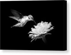 Black And White Hummingbird And Flower Canvas Print by Christina Rollo.  All canvas prints are professionally printed, assembled, and shipped within 3 - 4 business days and delivered ready-to-hang on your wall. Choose from multiple print sizes, border colors, and canvas materials.