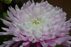 Chrysanthemum by WilWil G on 500px