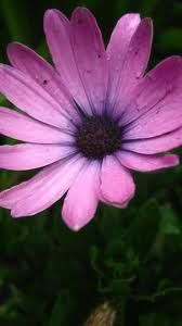 Image result for mauve flowers