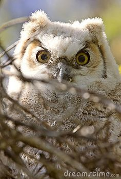 Great Horned Owl Babies Owlets Royalty Free Stock Images - Image: 14233459