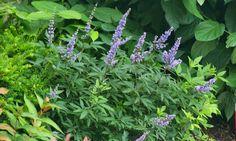 The Plant Hunter: Every Plant Tells a Story, Blue Diddley® dwarf Vitex