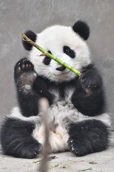 Giant Panda Meng Yu (5th Meng) in Mar 2019 at Chengdu Research Base of Giant Panda Breeding