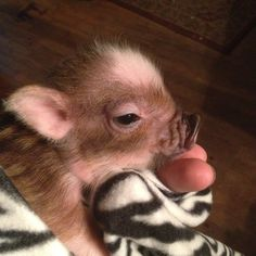 Super micro mini piglet Anyone who knows me knows I'm in love with pigs (& elephants)