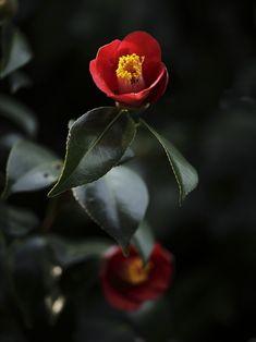 Japanese camellia Camelia Tree, Amazing Flowers, Beautiful Flowers, Flower Names, Japanese Flowers, Flowers Nature, Flower Photos, Ikebana, Flower Crafts