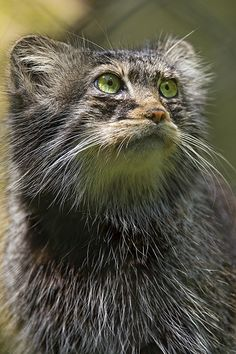 Pallas cat looking upwards