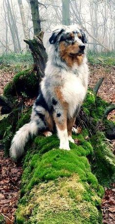 Blue Merle Australian shepherd, an American creation despite the name Cute Puppies, Cute Dogs, Dogs And Puppies, Doggies, Aussie Puppies, Big Dogs, Puppies Tips, Beautiful Dogs, Animals Beautiful
