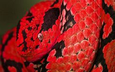 red-snake-wallpaper-background-wallpaper-cool-snake-backgrounds-backgroundblue-coffee-corn-black-clipart-background.jpg (1920×1200)