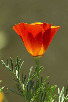 California poppy Beautiful Le printemps by bianca All Flowers, Exotic Flowers, Orange Flowers, Amazing Flowers, My Flower, Flower Power, Beautiful Flowers, Poppy Flowers, Orange Poppy