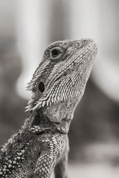 Bearded Dragon. Bearded Dragons are lovely wee reptiles; they can have a very gentle, inquisitive and sweet nature. My dragon Lizzi is precious to me..