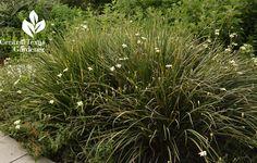 butterfly iris perennial garden Central Texas Gardener