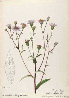 206528  / Sharp, Helen, Water-color sketches of American plants, especially New England,  (1905) [Helen Sharp]