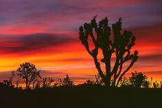 Predawn Joshua Trees ~ Mojave Desert, Ca.   Beautiful!!!!