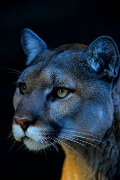 Cougar in Winter Wallpaper Big Cats Animals Wallpapers) – HD Wallpapers Pumas Animal, Beautiful Cats, Animals Beautiful, Big Cats, Cats And Kittens, Animals And Pets, Cute Animals, Puma Cat, Mountain Lion