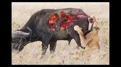 wild animals fight to the death,animals attacking other animals videos,a...