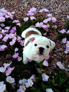 #Bulldog #puppy