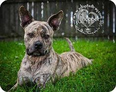 Newport, KY - Boxer/Pit Bull Terrier Mix. Meet Chopper, a dog for adoption. http://www.adoptapet.com/pet/18911715-newport-kentucky-boxer-mix