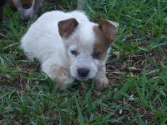 Australian Cattle Dog pups! red heeler