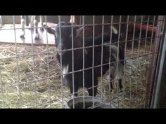 Crazy goat swinging on a swing - Part II