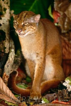 The Endangered Bay Cat, or Marbled Borneo Cat (Pardofelis badia) is endemic to the island of Borneo.  -kc