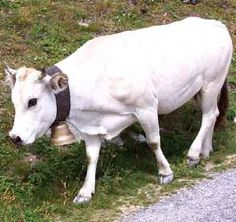 The Piedmontese cattle are a dual-purpose breed of domestic cattle from Italy which is raised mainly for milk and meat production. It is also called Italian: Piemontese or razza bovina Piemontese. Miniature Cow Breeds, Miniature Cattle, Breeds Of Cows, Fawn Colour, Color, Selective Breeding, Organic Beef, Small Farm, Farm Animals