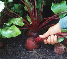 Чем сейчас подкормить свеклу для укрупнения и сладости корнеплода | уДачная грядка | Яндекс Дзен