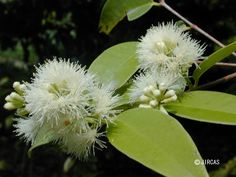 Syzium gratum  Shrub or small tree, up to 7 m high.Leavessimple, opposite, ovate-lanceolate, acuminate, coriaceous, 7-12.5 cm long, 3-5 cm wide; petiole 5-7 mm long, young leaves cream to pale red.Flowersnumerous, small, white.Fruitsovoid, 6 mm long, 5 mm wide, white.   Common in evergreen forest and along river bank or in the low forest behind the sand dune along the beaches.   The shoots and young leaves are eaten raw withnam phrik, with vermicelli or with southern food. Southern Recipes, Southern Food, Evergreen Forest, River Bank, Eating Raw, Small Trees, Shrubs, Dandelion, Leaves