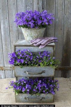 Metal drawers filled with Campanula. This is a great plant for a rock garden, as a ground cover or in planters.