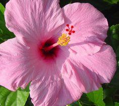 My favorite flowers! Pink Hibiscus!