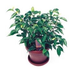 Want to know how to grow ficus? Get tips for caring for this indoor plant, including how to water ficus and more. It's one of the best houseplants! Ficus, Indoor Gardening, Indoor Plants, Dwarf, Plant Care, Houseplants, Projects To Try, Female Dwarf, Plants