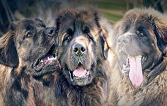 Headshot of the younger boys from the left Big Mac , Agro , Kobo, #hillhavenleonbergers #leonberger #kobo #big mac # Agro