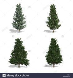 Fraser fenyő fák, elszigetelt fehér háttérrel.  Stock fotó