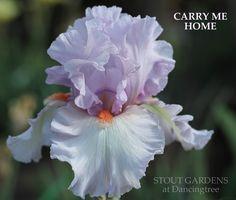 (Bob Van Liere 2013) TB iris, 35 (89 cm), M Flowers: S. lavender; F. very pale lavender, almost white; beards tangerine. Sdlg. 24CA23: Dutchman's Dream X Fogbound Very beautiful pastel colors from Col
