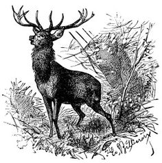 Here is a wonderful vintage clip art illustration of a deer in the woods. The illustration is from Popular Natural History by Rev. J. G. Wood.  The book was published in 1885. Click on image to enlarg