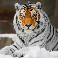 White Tiger with Orange Face. Unique!