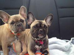 French Bulldog Best Buddies!!
