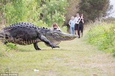 Photographers flanked both sides of a gigantic gator to capture the massive reptile strutting across a path. The video was shot at Circle B Bar Reserve in Lakeland, Florida on Sunday. Scary Animals, Animals And Pets, Funny Animals, Cute Animals, Garden Animals, Nature Animals, Reptiles And Amphibians, Mammals, Crocodile Animal