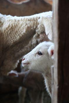 The cutest baby lamb