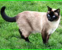Nama Kucing Jantan Yang Bagus Lucu Dan Keren Ekor9 Com Kucing Siam Kucing Kucing Tabby
