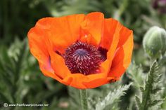 The amazing Wollam Garden's grows the most incredible poppies. They are striking in centerpieces.