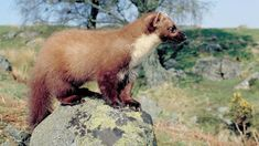Pine martens return after 200 years
