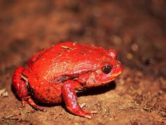 RED POISON FROG Funny Frogs, Cute Frogs, Amazing Frog, Awesome, Little Lizard, Salamanders, Frog And Toad, Geckos, Reptiles And Amphibians