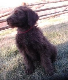 Cally is a beautiful chocolate F1 Labradoodle.