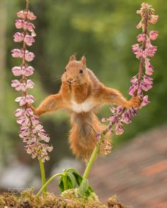 and what now - red squirrel standing between 2 lupine flowers with spread legs